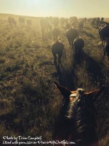 horses herding dusk