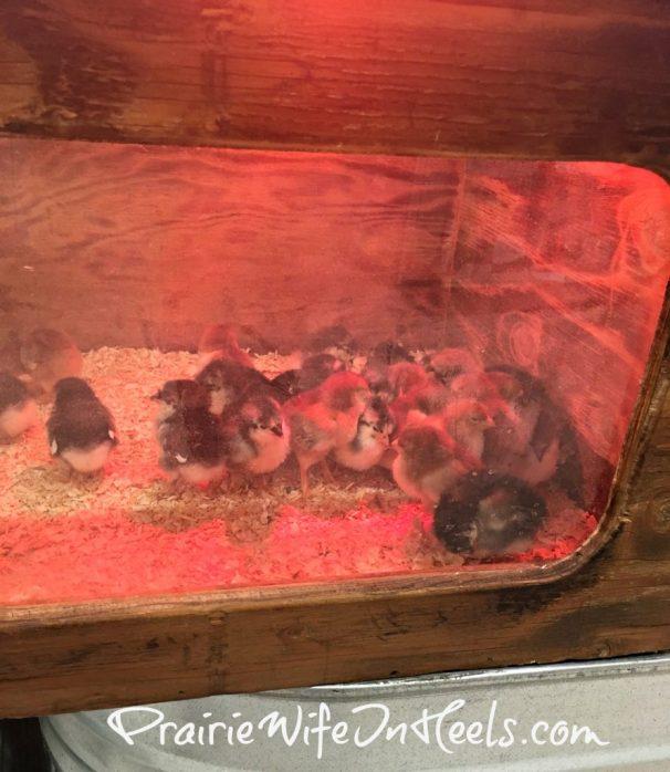 chicks at murdoch's