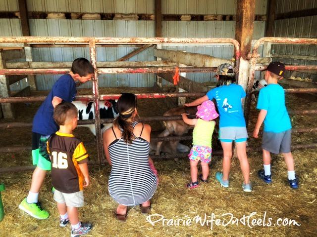 looking at calves