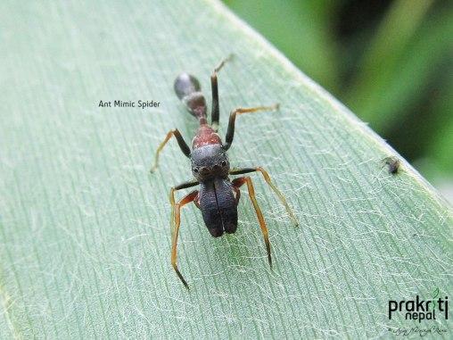 Ant Mimic Spider