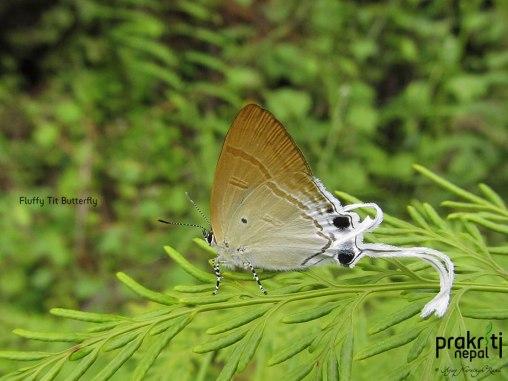 Fluffy Tit Butterfly