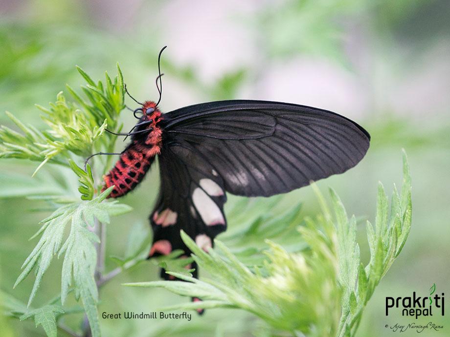 Great Windmill Butterfly_Atrophaneura dasarada