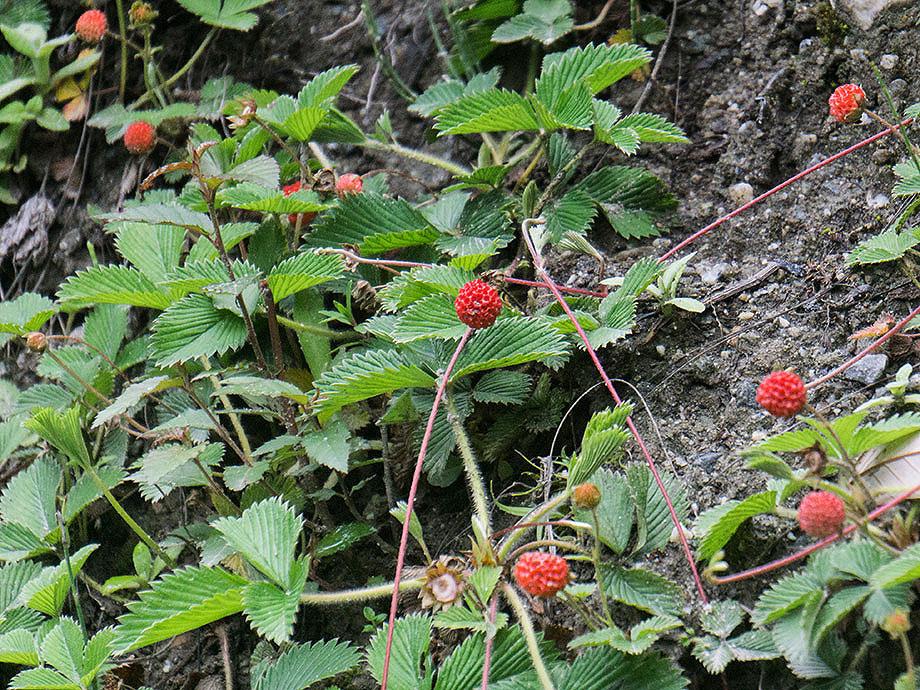 Strawberry_Fragaria nubicola