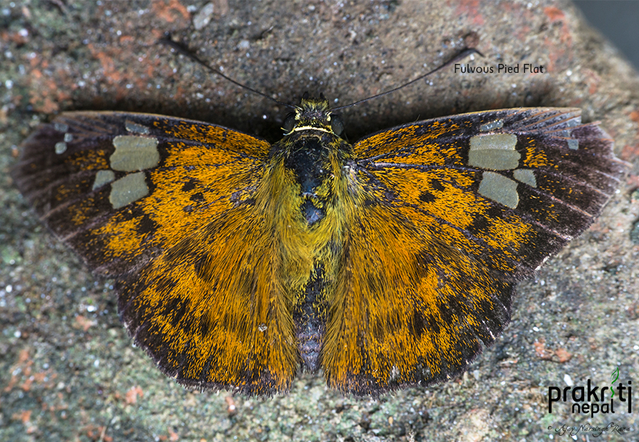 Fulvous Pied Flat Butterfly