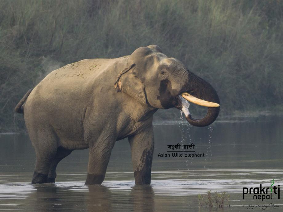 Asian Wild Elephant - Elephas maximus