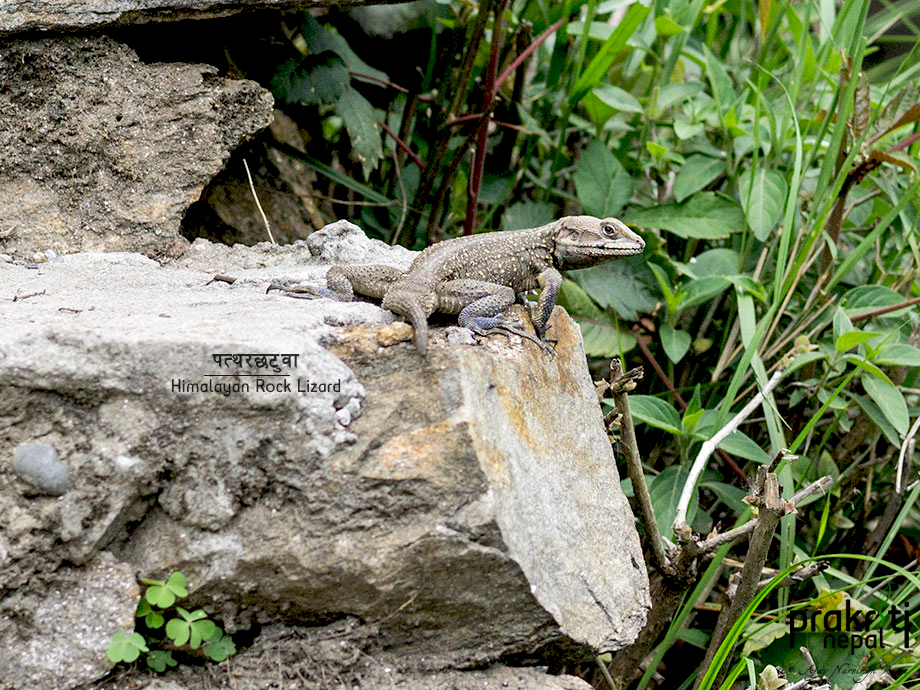 Himalayan rock lizard - Laudakia tuberculata