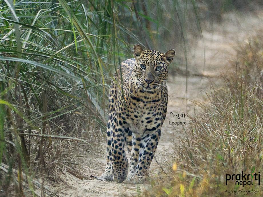 Leopard-Panthera-pardus