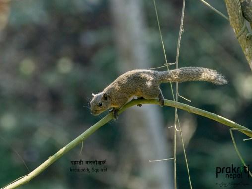 Irrawaddy Squirrel