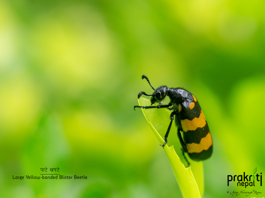 Large Yellow-banded Blister Beetle
