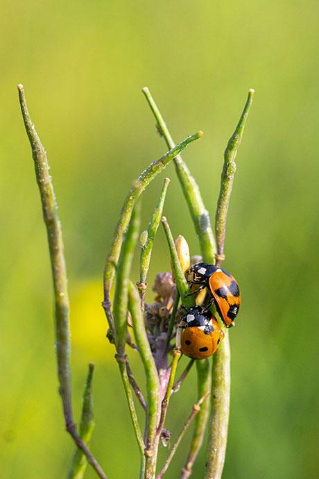 Ladybirds in Bungamati