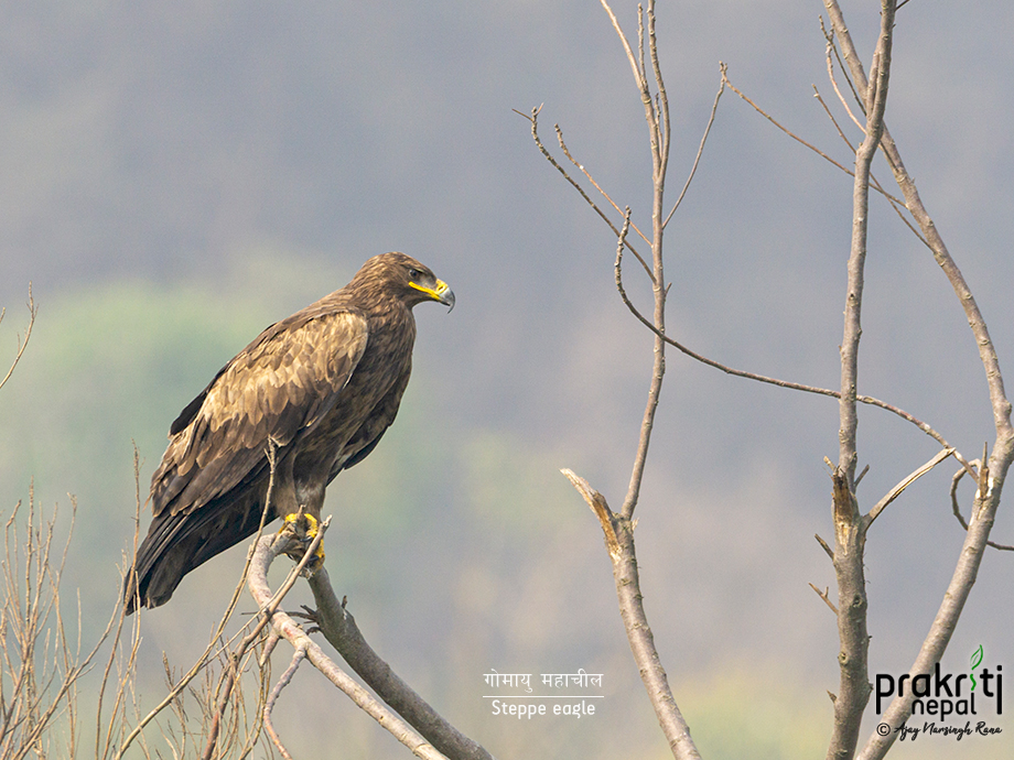 Steppe eagle perched on a tree in Bungamati
