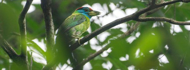 Blue-throated-Barbet-with-insect