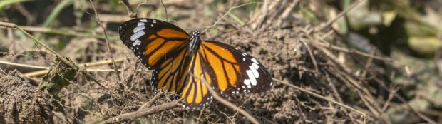 Common-Tiger-Butterfly_top-view