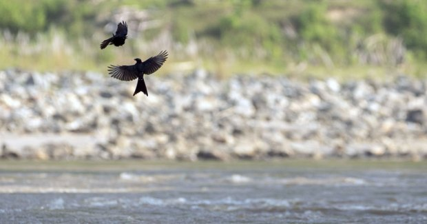 Two-Black-Drongo-playing