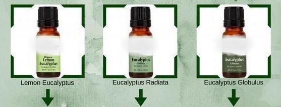 Aromatherapie – Eucalyptus
