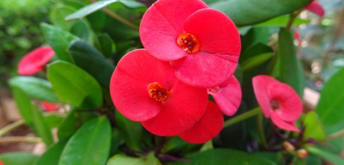 Ευφόρβια φυτό