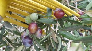 μάζεμα ελιάς με χτένι κι ελαιόπανο