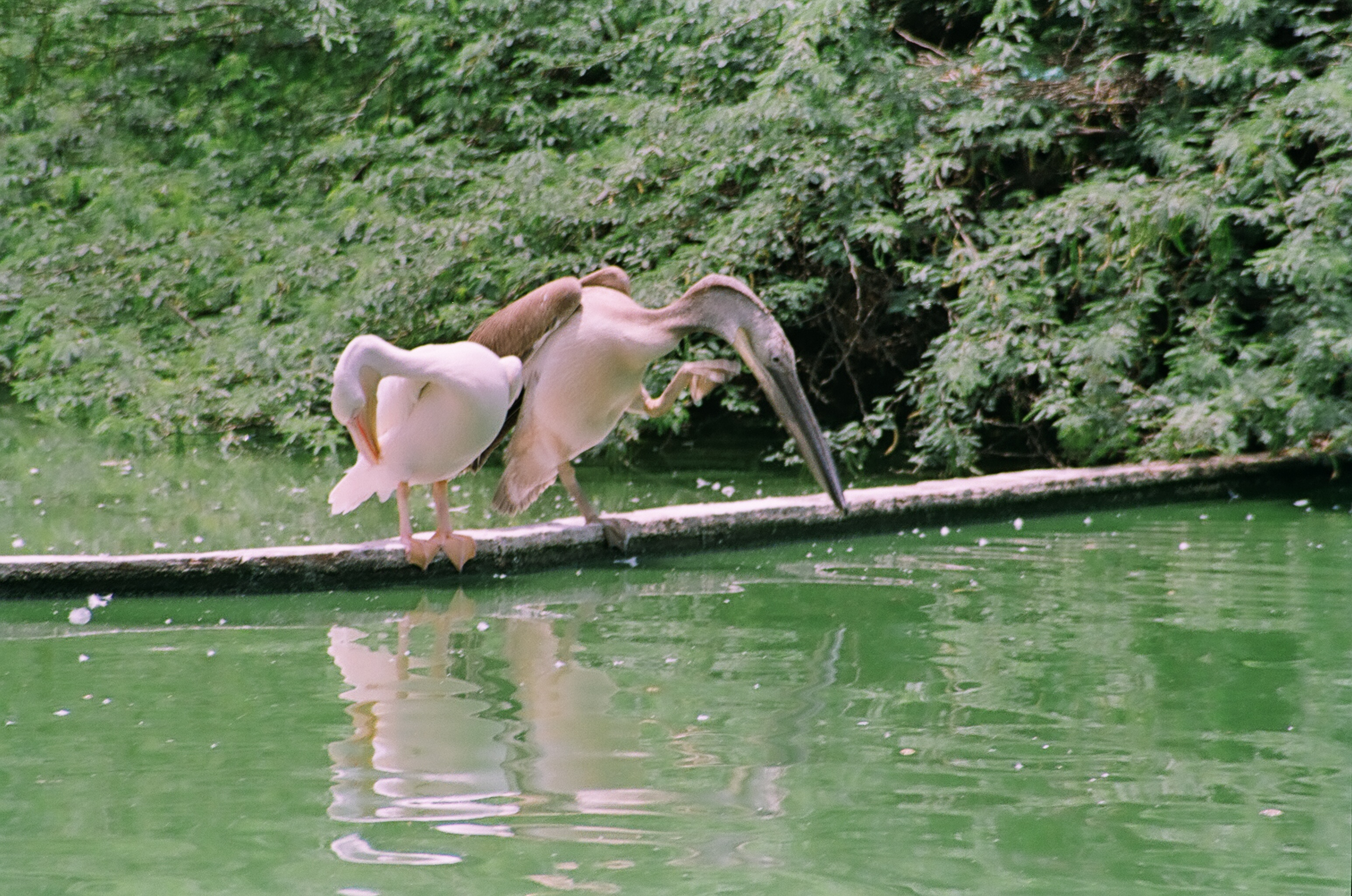 Pelicans at the Zoo..Our favorite Passtime on a Sunday morning...Mamoooo..I am not happy that your passport was found...Now who will take me on his shoulders to watch the Pelicans and Girraffe