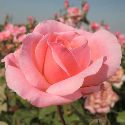 Moderne Edelrose  Rose 'the Queen Elizabeth Rose