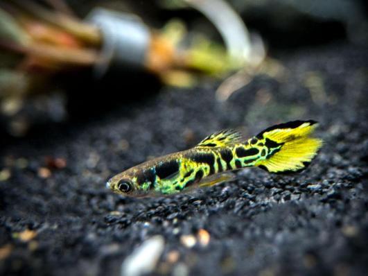 ikan hias air tawar langka, ikan hias air tawar kecil