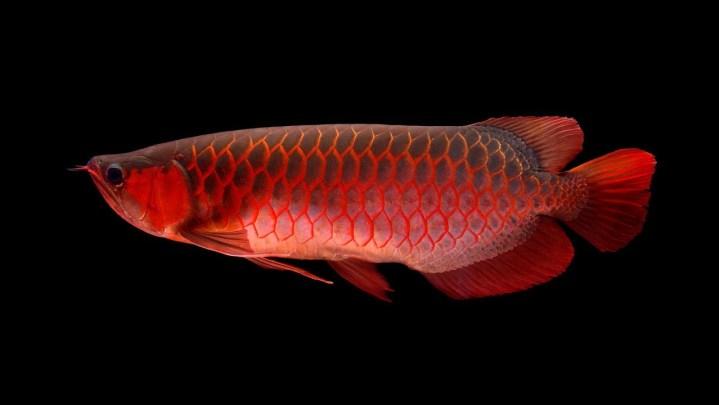 ikan hias air tawar termahal, ikan hias air tawar langka