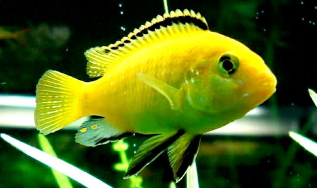 ikan hias air tawar terindah, ikan hias air tawar