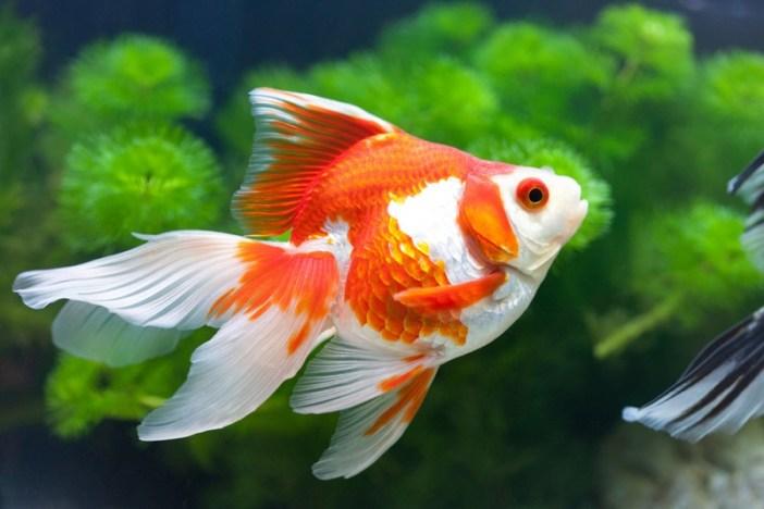 ikan hias air tawar terindah, ikan hias air tawar yang bisa dicampur