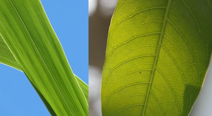 menjari dan sejajar, perbedaan Tumbuhan monokotil dan dikotil pada daun ,perbedaan dikotil dan monokotil