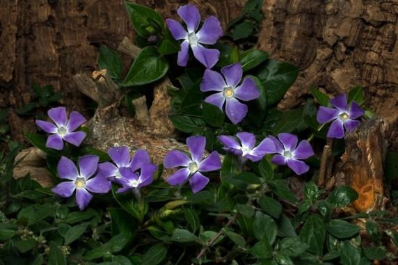 cara merawat bunga vinca, bunga vinca adalah