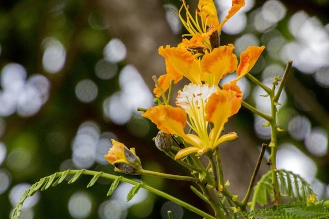 bunga flamboyan kuning