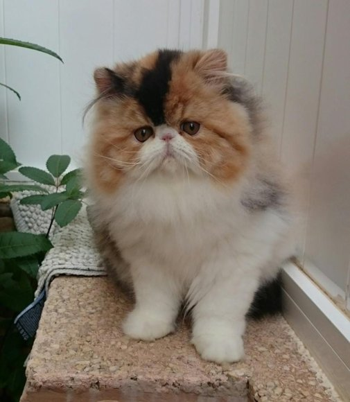 kucing persia peaknose long hair