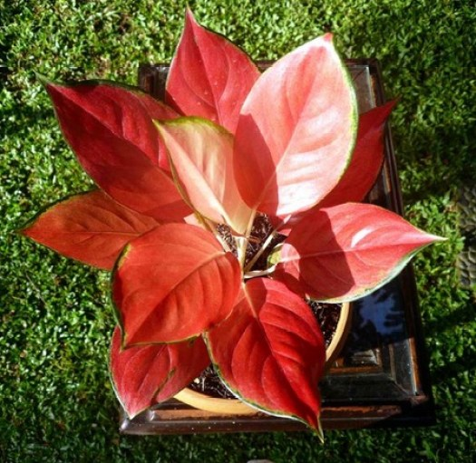 aglaonema star red