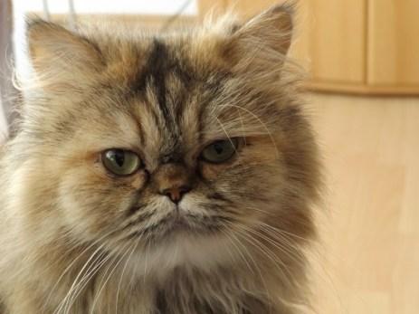 Jenis jenis kucing persia, persia flatenose