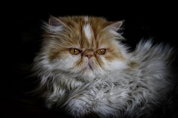 Jenis jenis kucing persia-kucing persia peaknose