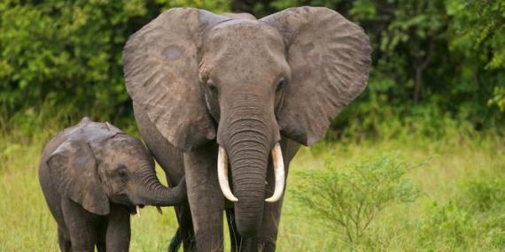 gajah fauna indonesia, gajah sumatera