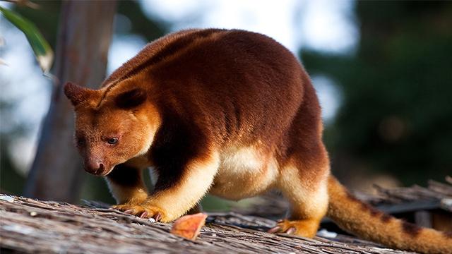 kanguru papua