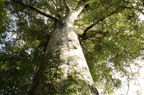 pohon damar flora indonesia