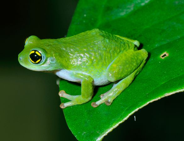 Chalazodes Bubble-Nest Frog (Raorchestes chalazodes)