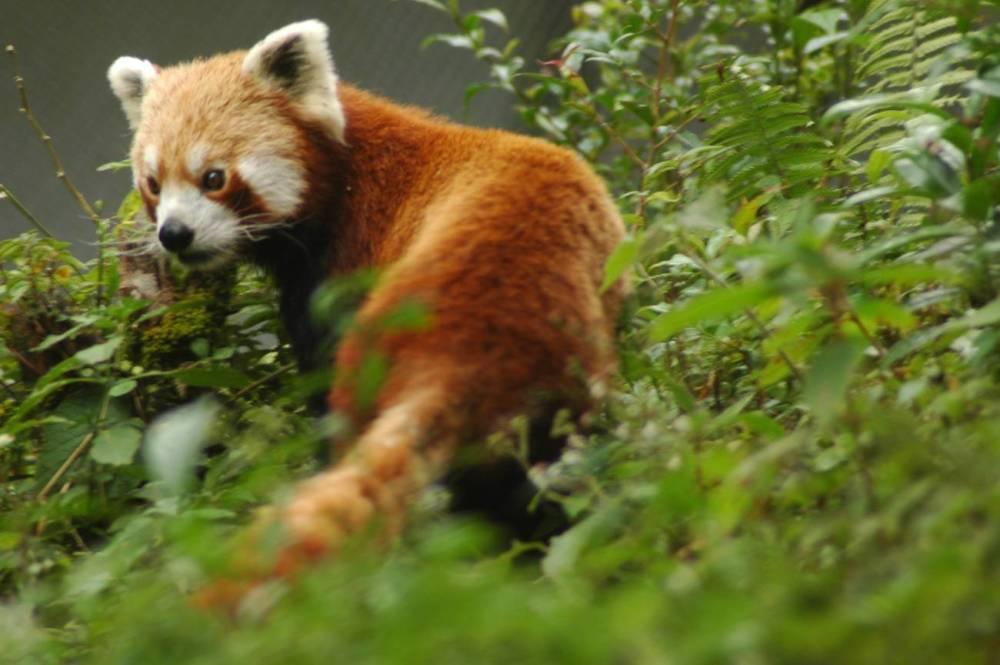 The Red panda (Ailurus fulgens) (2/2)