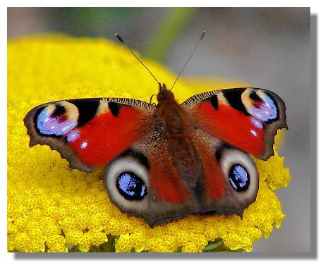 Peacock butterfly (Inachis io) (2/2)