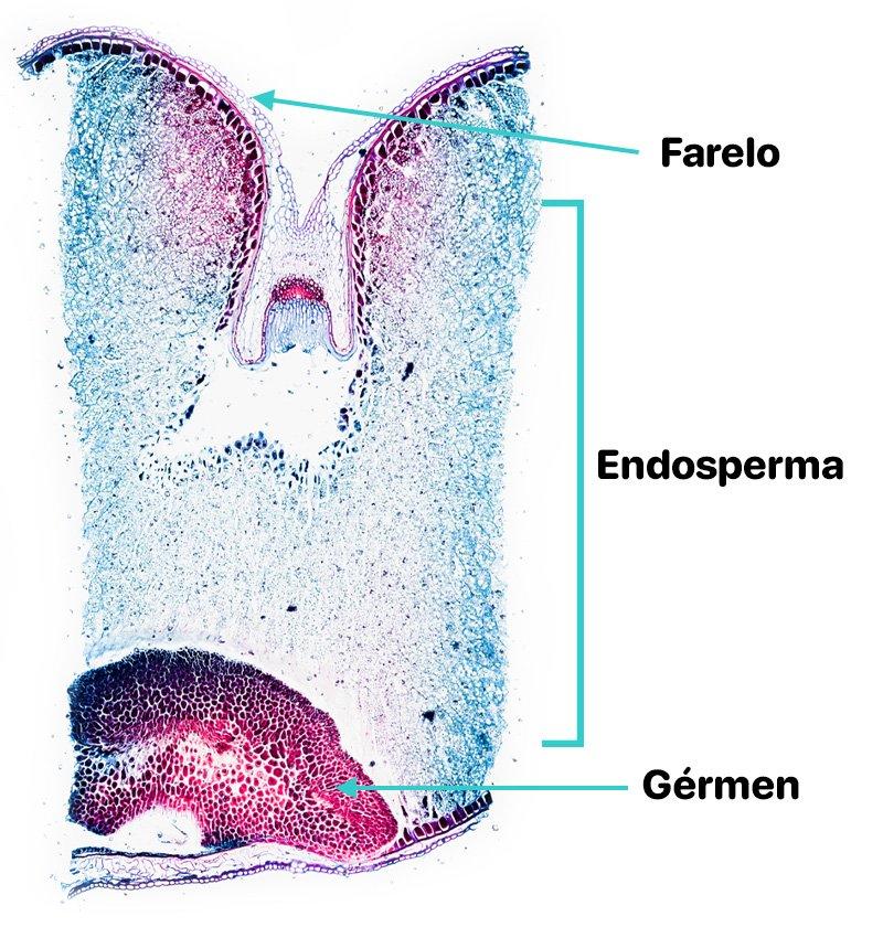 Microscopia de um grão de trigo mostrando o farelo, endosperma e gérmen
