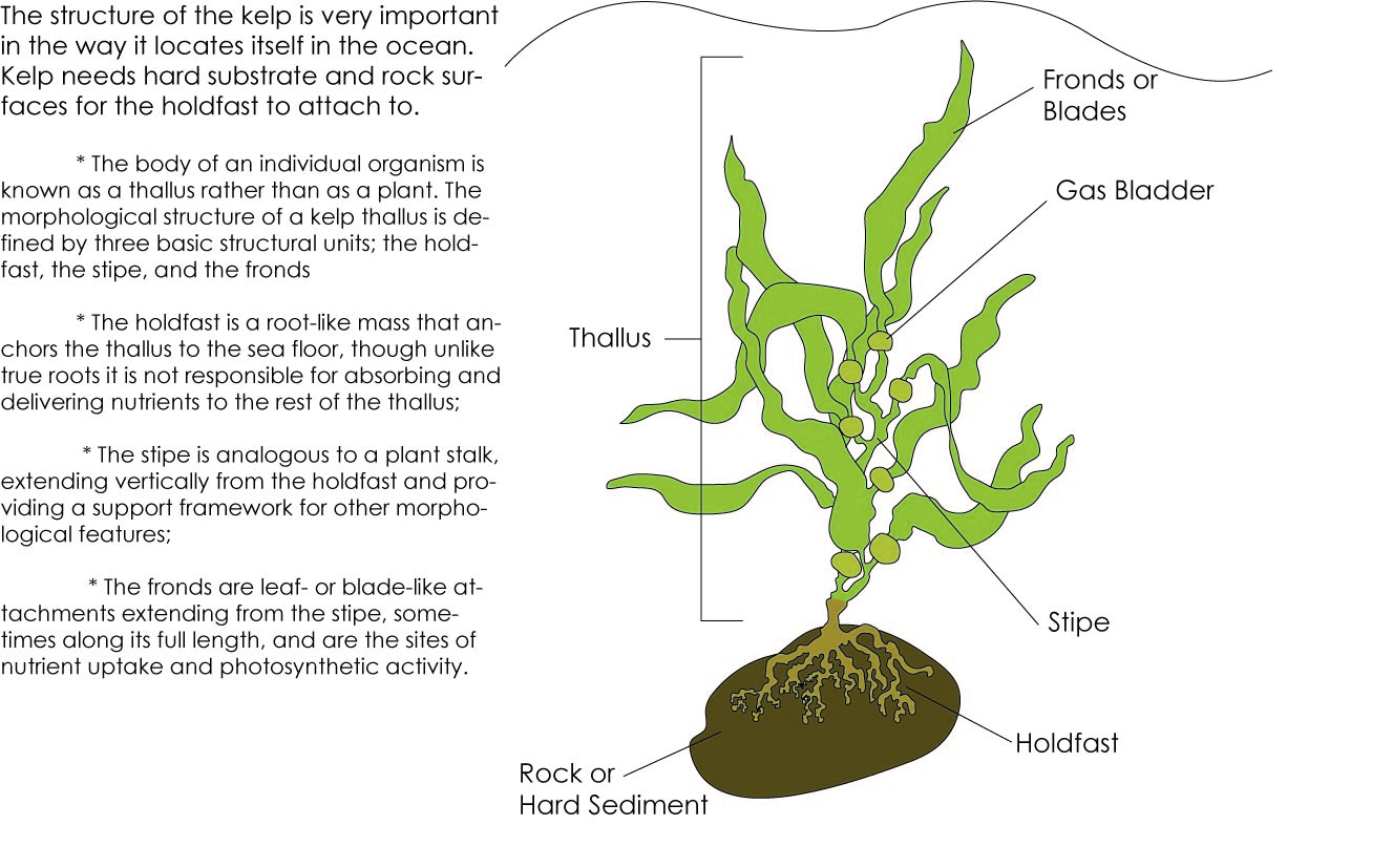 kelp forest diagram porsche 944 relay structure