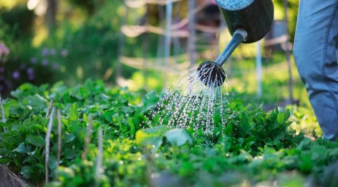 perennes cultivo destacada