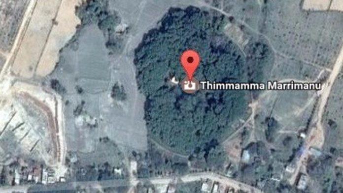 thimmamma marrimanu, arbol mas genade del mundo, arbol mas grande del mundo esta en la india, baniano,