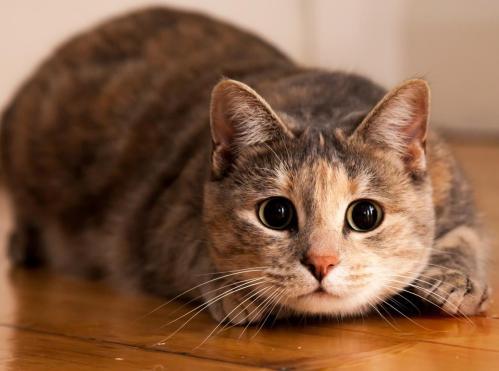 gato, gris