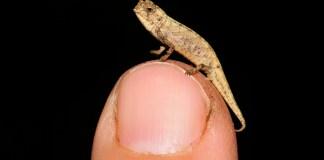 nanocamaleon, criaturas miniatura, la regla de la isla