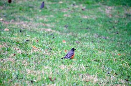 Robin single