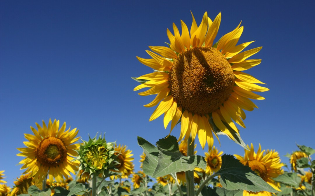Sunflowers: Pronouncing a Blessing