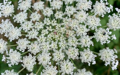Queen Anne's Lace – Stroll for Your Soul