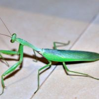 What Do Baby Praying Mantis Eat? – Baby Praying Mantis Diet